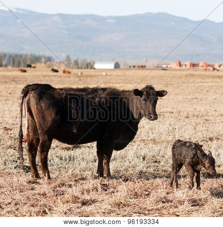 Newborn Calf Montana Ranch Unaided Birth Cattle Ranch