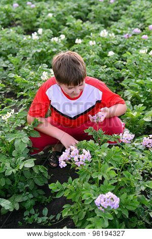 Boy Teenager Growing Potatoes In  Garden