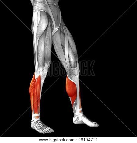Concept or conceptual 3D adductor longus human lower leg anatomy or anatomical and muscle isolated on black background