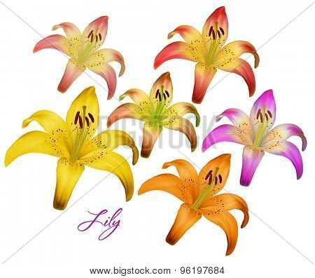 Vector illustration of lily. isolated on a white background