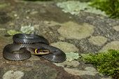 stock photo of coil  - A Ringneck Snake coiled on a mossy stone - JPG