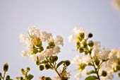 foto of crepe myrtle  - Crepe myrtle blooms in morning light - JPG