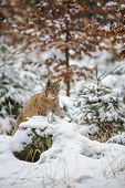 image of freeze  - Eurasian lynx cub lying in winter colorful forest with snow - JPG