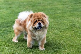 pic of chow-chow  - Beautiful chow  - JPG