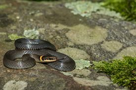 foto of coil  - A Ringneck Snake coiled on a mossy stone - JPG