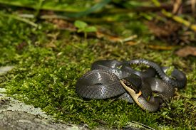 stock photo of coil  - A Ringneck snake coiled on a bed of moss - JPG