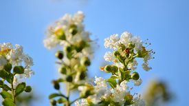 picture of crepes  - Crepe myrtle blooms in morning light - JPG