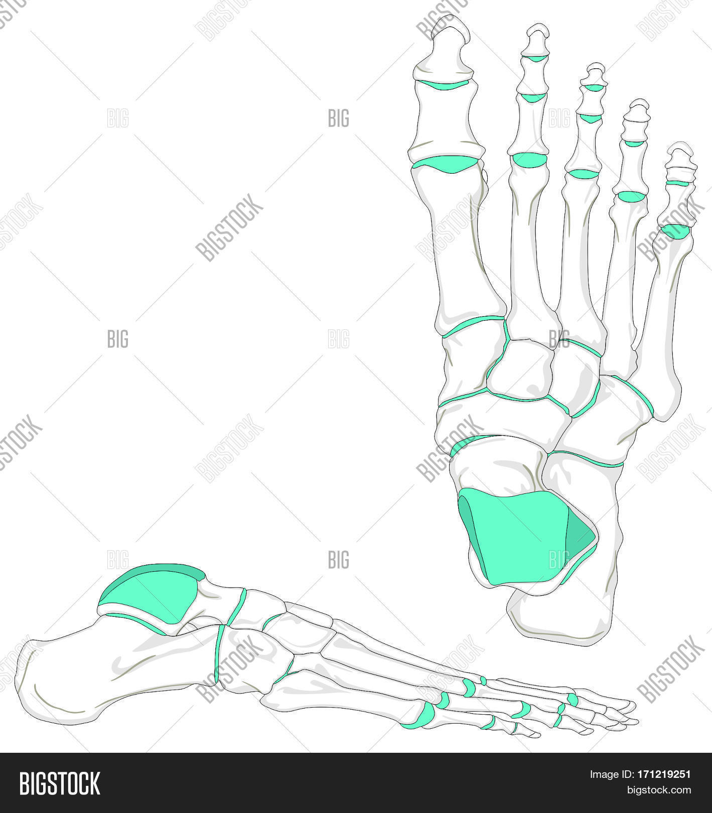 Foot anatomy joints