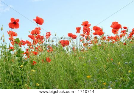 Corn Poppy And A Blue Sky - Tuscany