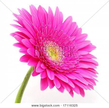 flor de gerbera