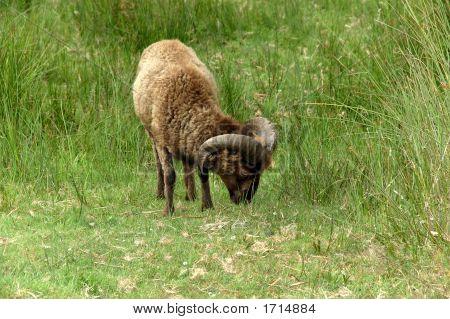Buck Grazing In Meadow