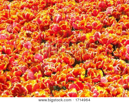 Red Tulips Carpet Background