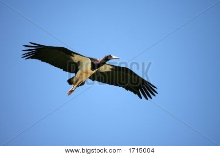 Black Stork In Amboseli Kenya