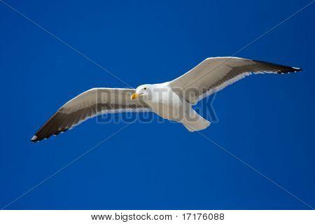 Sea Bird on Blue Sky Gliding in Wind