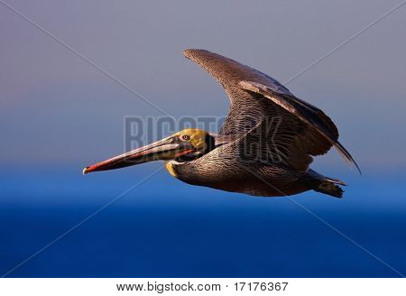 California Brown Pelican, Pelecanus Accidentalis