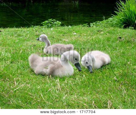 Cute Baby Swans