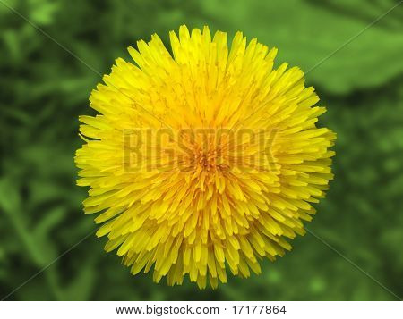 yellow flower dandelion isolated with vector clipping path included
