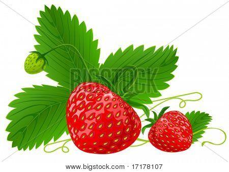 frutos de morangos vermelhos com verde folhas ilustração vetorial, isolada no fundo branco