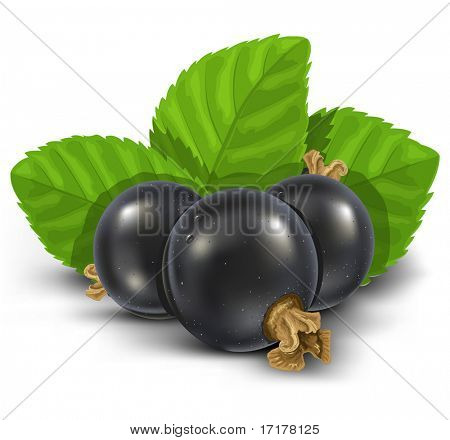 black currant fruits with green leaves vector illustration