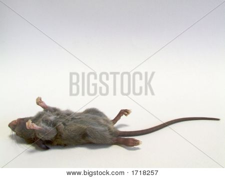 Young Rat -  Deceased #1