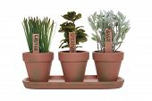 pic of potted plants  - Three herbs chives spearmint and sage in potted plants - JPG
