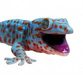 stock photo of gekko  - Gecko - JPG