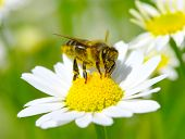 foto of yellow flower  - Bee on the chamomile flower - JPG