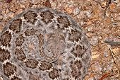 image of western diamondback rattlesnake  - A western diamondback rattlesnake shows the attractive pattern of diamonds on it - JPG