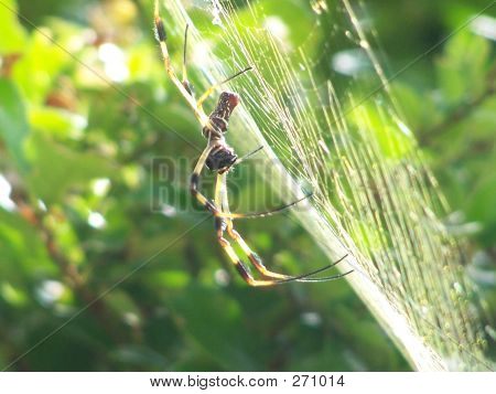 Sideview Spider In Web
