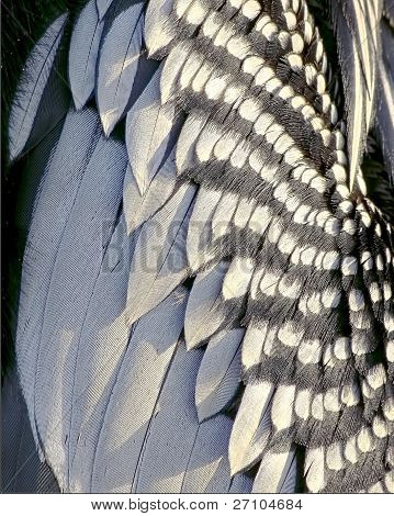 Anhinga feathers close up