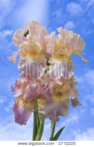 Lavender Irises Set Against Blue Sky