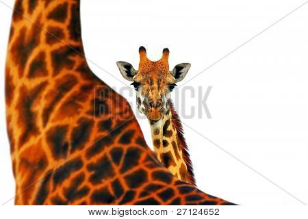 Portrait of mother and baby giraffe isolated in white background