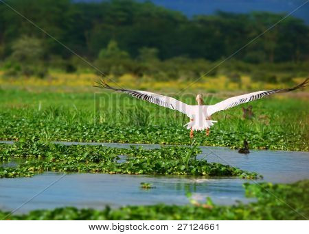 flying great white pelican above lake Naivasha. Africa. Kenya