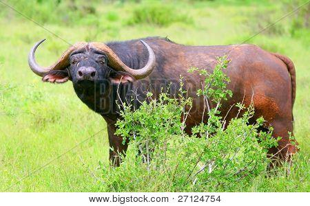 African Buffalo. Africa. Kenya. Samburu national park.