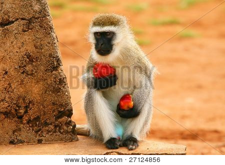 Portrait of wild hungry monkey . Africa. Kenya. Masai Mara