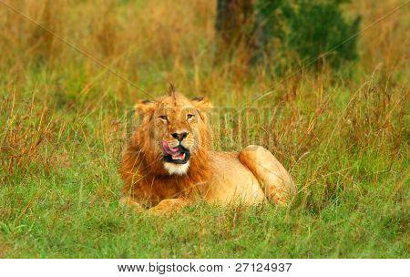 Portrait of young wild african lion. Africa. Kenya. Masai Mara