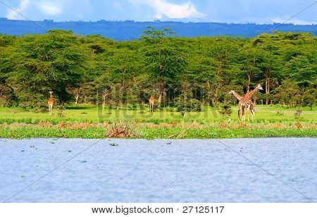 Family of wild giraffes on the lake Naivasha. Africa. Kenya