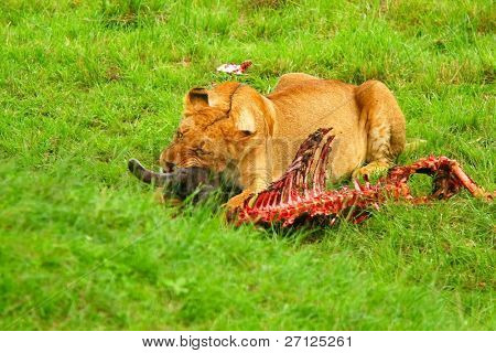 Wild African lioness eating wildebeest. Africa. Kenya. Masai Mara