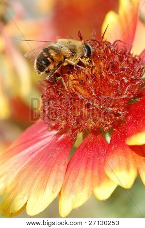 bee on  flower collects nectar. Close - up .