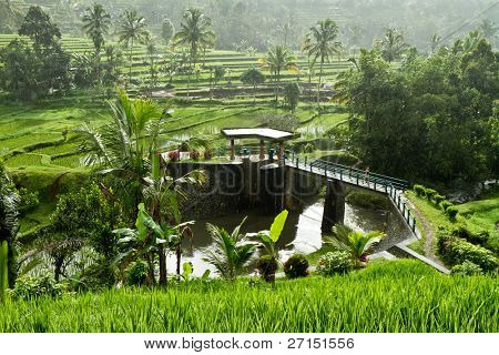 typical terrace rice fields of Bali, Indonesia