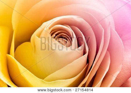 close up of colorful rose petals