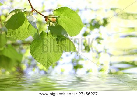 Spring leaves of a linden in reflexion in water