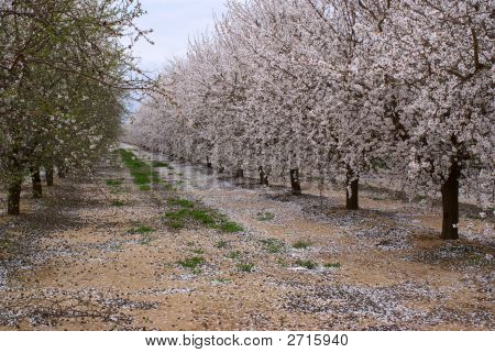 Almond Trees In Orchard