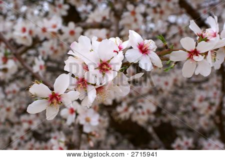 Blossoms In Almond Orchard