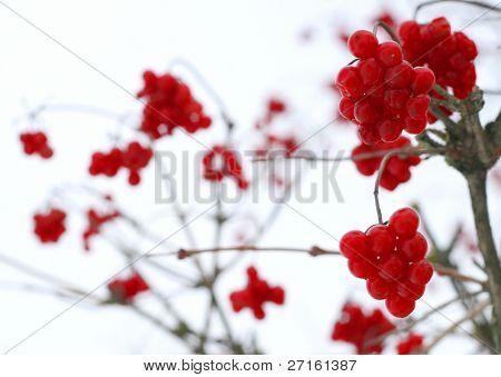Close-up of red viburnum berries covered with snow