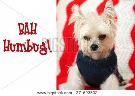 poster of FUNNY Small dog Christmas. A Morkie half Maltese - Yorkie dog smiles for his Christmas Portrait.  Sm