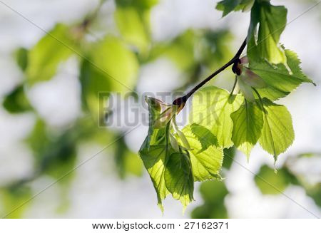 Aspen tree branch with spring buds and young leaves