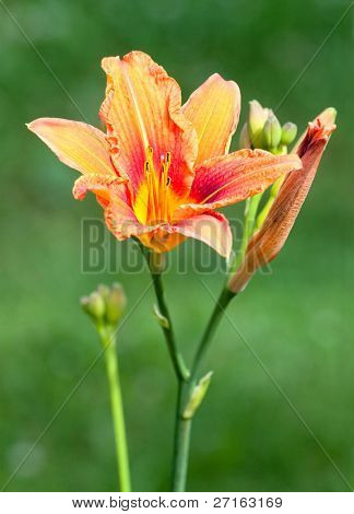 Close-up of beautiful orange hemerocallis flower
