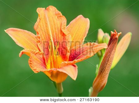 Close-up of beautiful orange hemerocallis flower