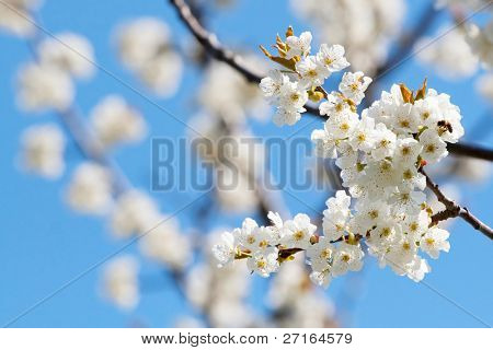 Spring blooming sakura cherry flowers branch